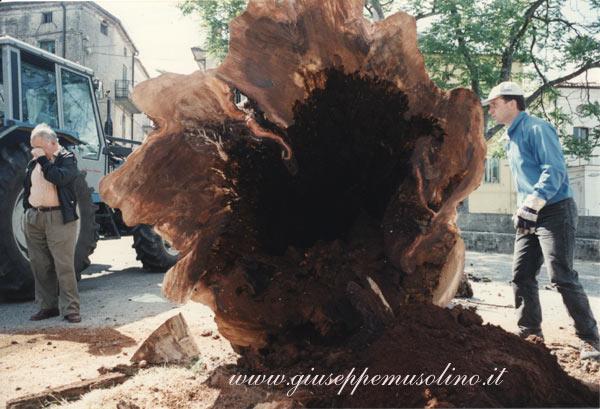 Olmo di Praticello. Sezione del tronco cavo