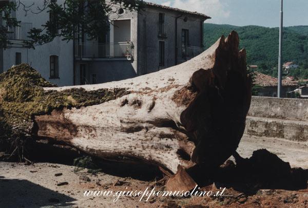 Olmo di Praticello. L'albero appena abbattuto