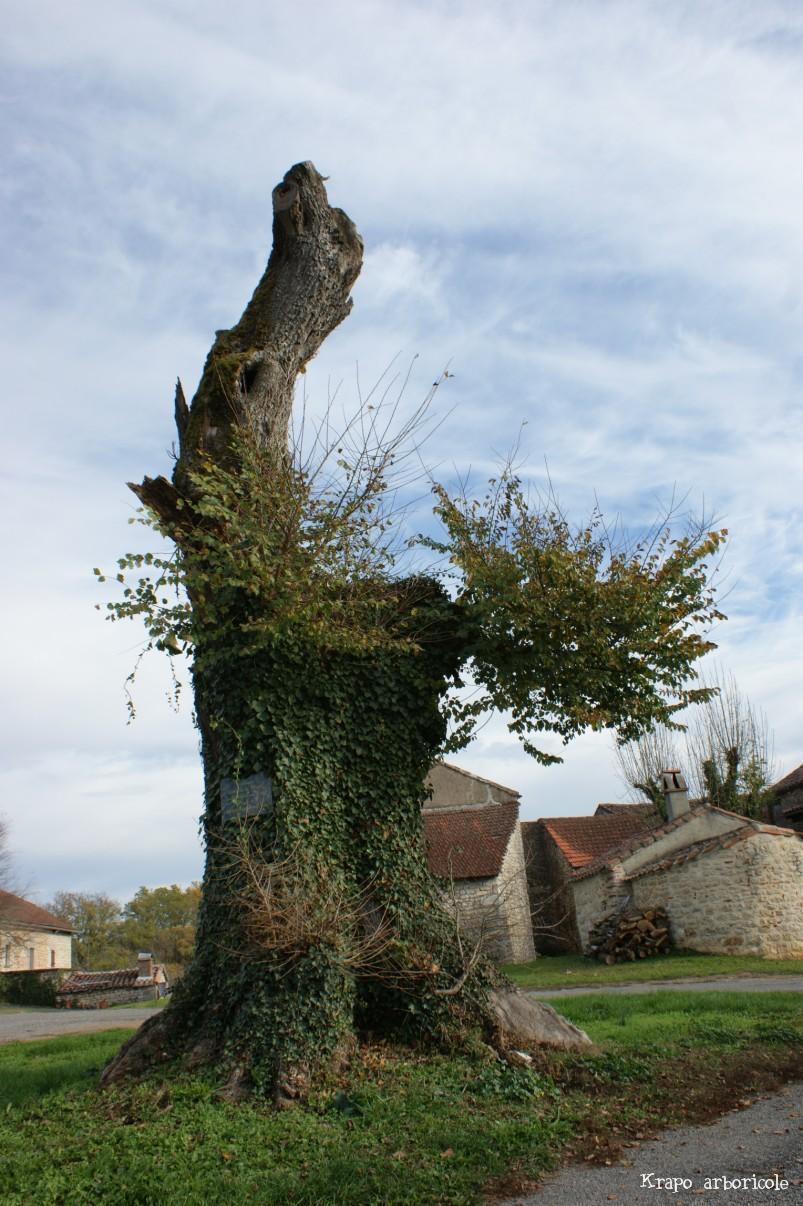 Olmo di La Magdaleine, Francia